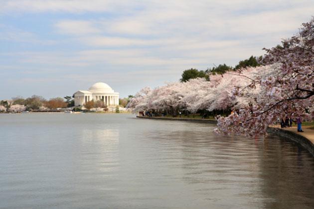 washington-cherry-blossom-4