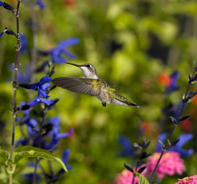 garden-hummingbird