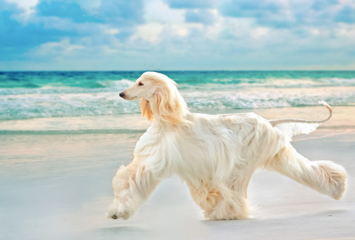 pet-dog on beach