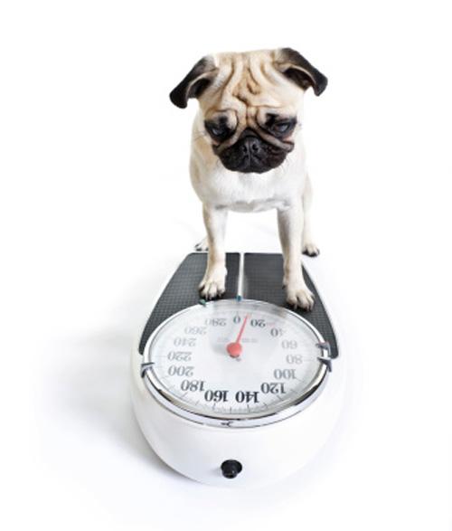 dog-portly-pup