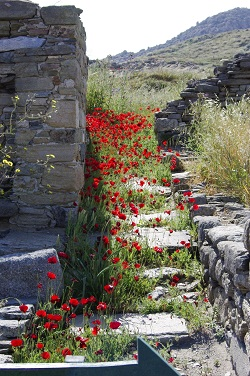 Poppies bloom among the ruins in sacred Delos