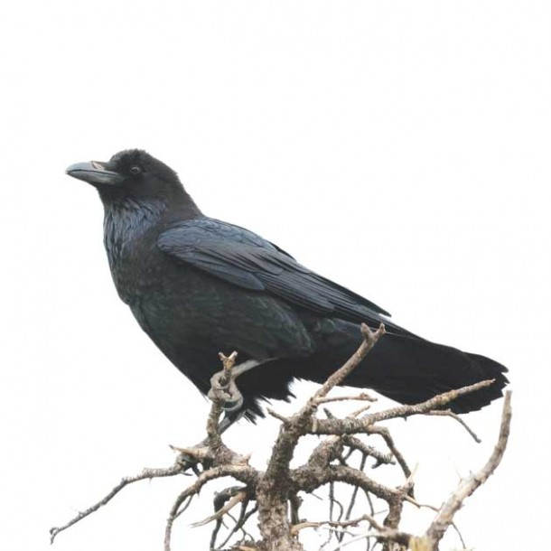 raven_HR-155370064
