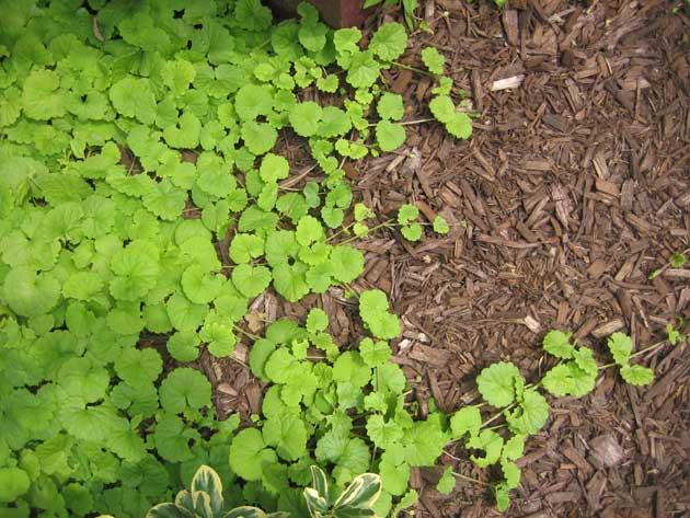 ground-ivy,-2