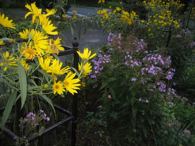 helianthus-and-asters