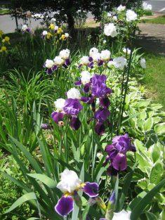 feature_irises,-wabash-and-dark-blue