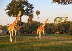Cheetah-Hunt-and-Serengeti-Plain-at-Busch-Gardens[1]
