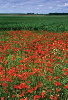 WW_I_and_II_Inspired_IS_2012_Poppies_Somme[1]