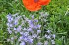 bluebells-with-1-orange-poppy-2-225x300