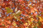 fall-leaves-feature-Cape-May-3-(2)