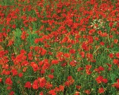 large_WW_I_and_II_Inspired_IS_2012_Poppies_Somme[1]