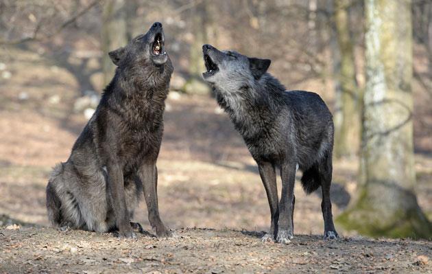 Walter_Vorbeck_wolves