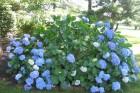 Hydrangeas,-blue,-Moorestown,-July-2013