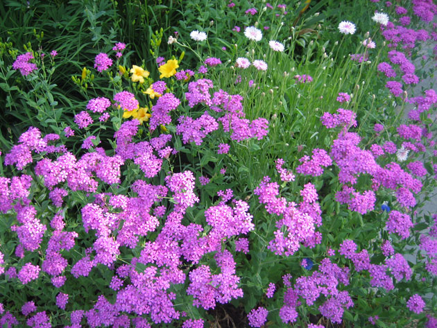 Mauve-flowers-with-daisies