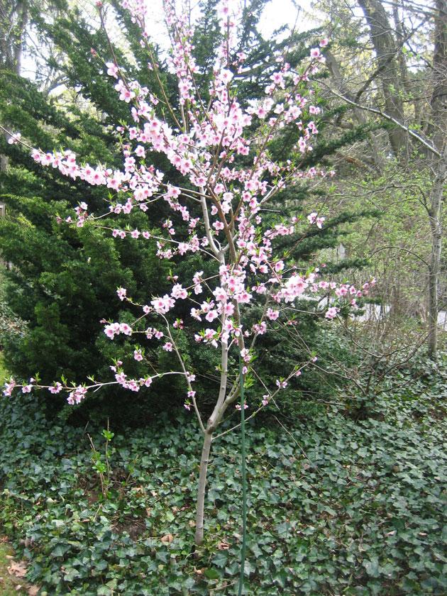 peach-blossoms
