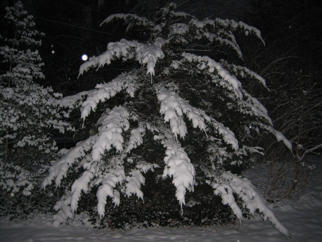 yew-at-night,-loaded-with-snow