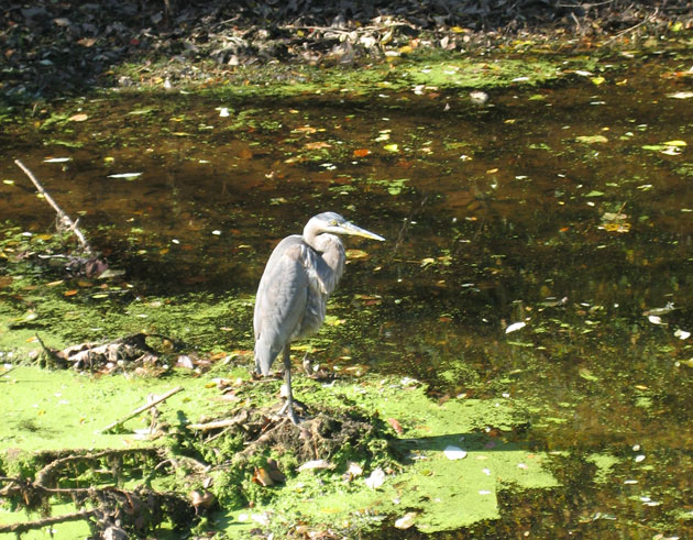 blue-heron,-Delaware-Canal,-10-13