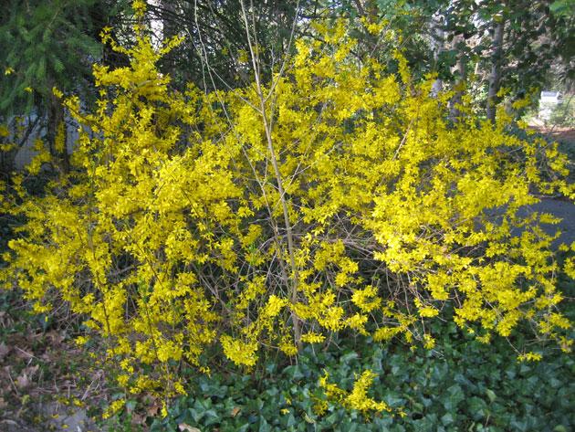 forsythia-in-bloom