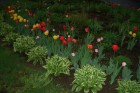 tulips-and-hostas-feature