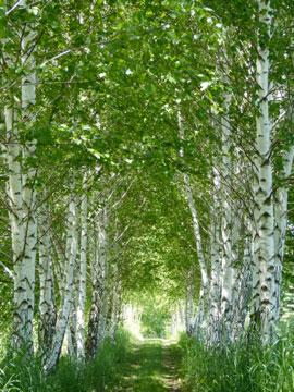 Birch-allee[1]