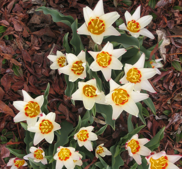 Tulips,-Denver-Botanical-Gardens