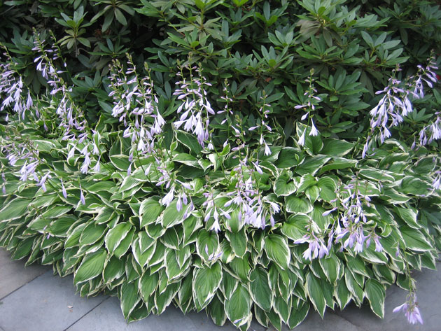 hostas,-lavender,-on-patio