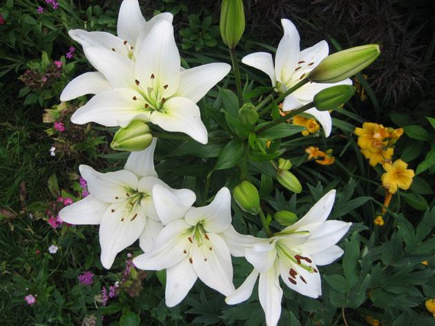 lilies,-Casablanca-again-(1)