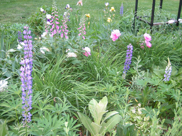 lupines,-foxgloves-and-peonies
