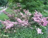 1-azaleas,-clear-pink