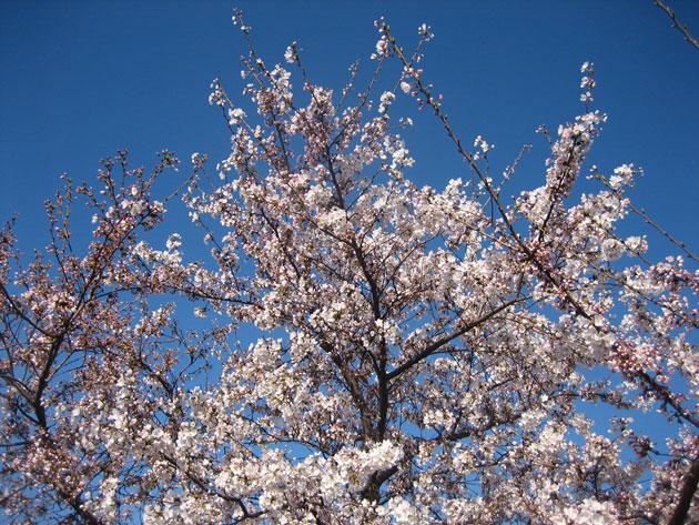 Chery-blossom,-Philadelphia-(1)