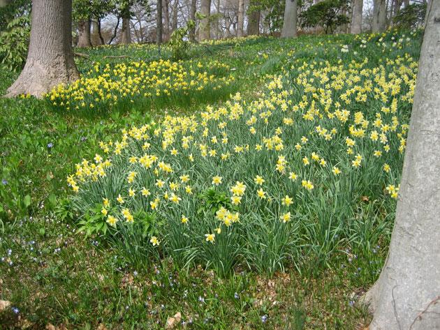 Daffodils,-Winterthur,-5-(1)