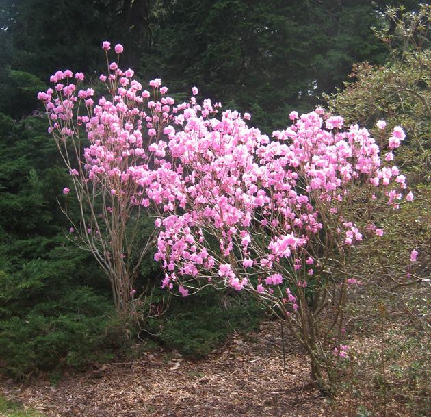 Korean-rhododendron,-Winterthur-(2)