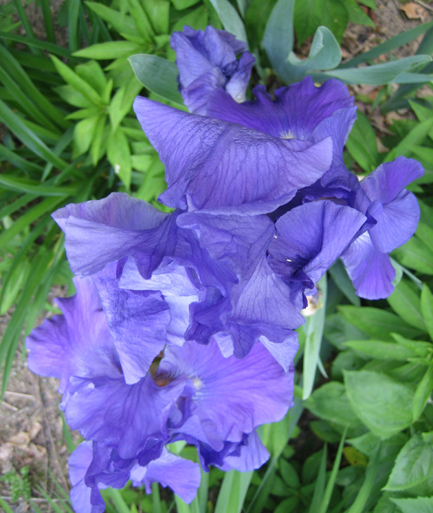 feature-irises,-blue