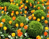 feature-tulips-and-box-topiaries,-Alexandria