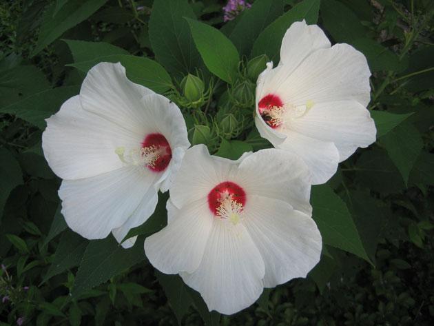 rose-mallow,-closeup