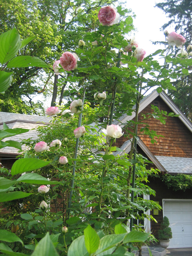 roses,-Eden