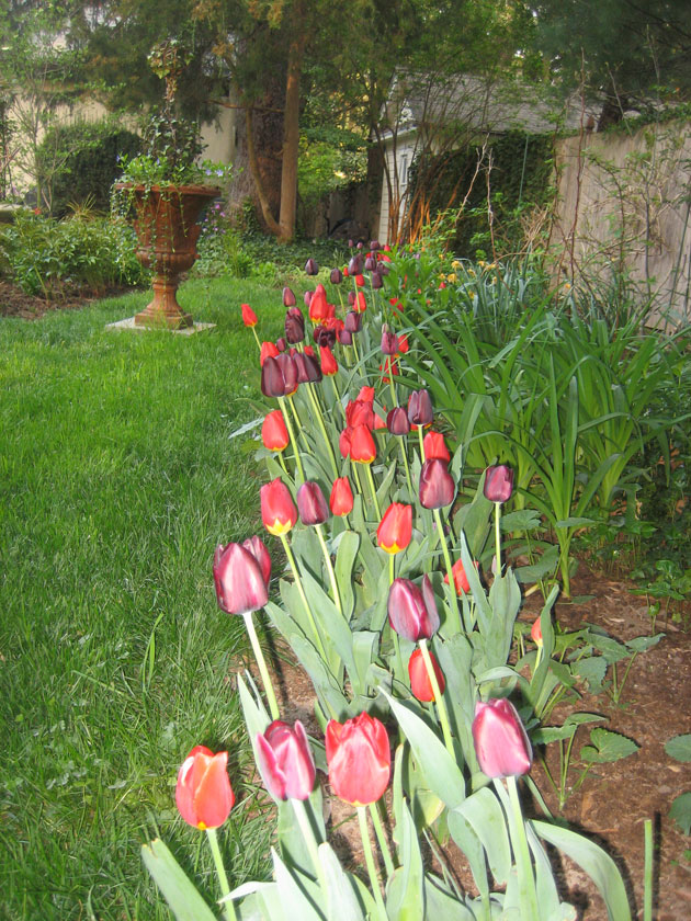tulips,-red-and-purple-(1)