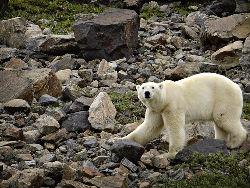 body - polarbear