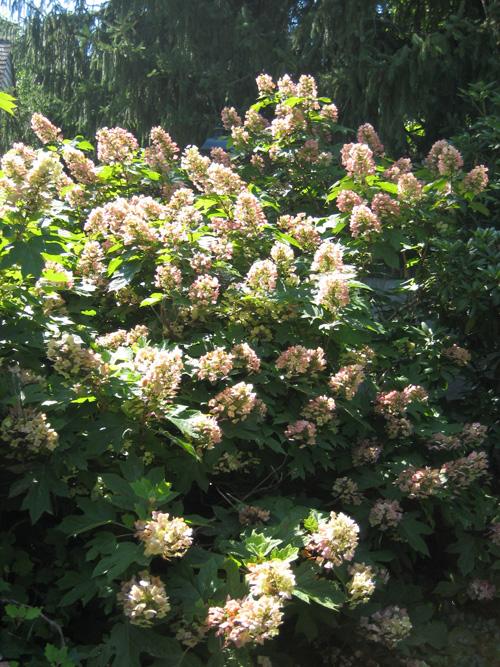 gardener-2-Hydrangea-quercifolia,-Moorestown,-7-13