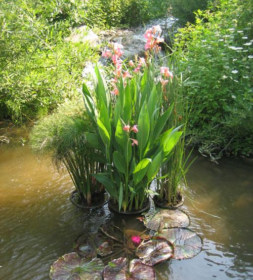canna-lilies,-pink,-in-stream,-Hudson-Garden