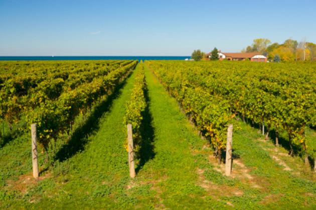 niagara-vineyard