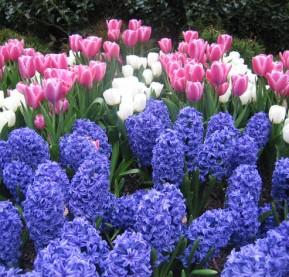 hyacinths-and-tulips,-Philadelphia