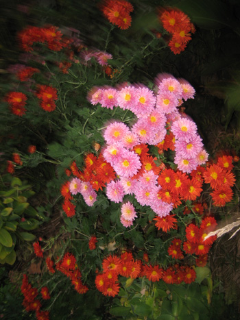 3-chrysanthemums,-pink-and-rust