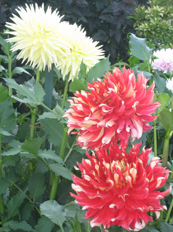 5-Butchart-Garden,-red-and-white-dahlias-(1)