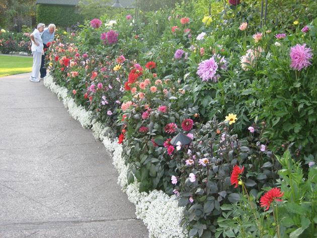 Butchart-Garden-1-dahlia-garden