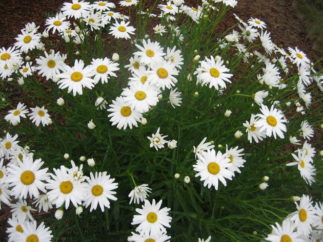 garden-1-Shasta-daisies,-CPV-(1)