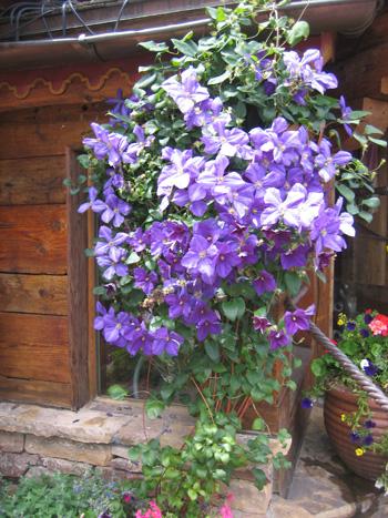 garden-3-clematis,-Vail