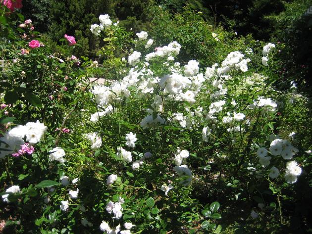 garden-5-iceberg-roses,-Denver-Botanic-Gardens
