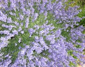 garden-6-lavender,-Denver
