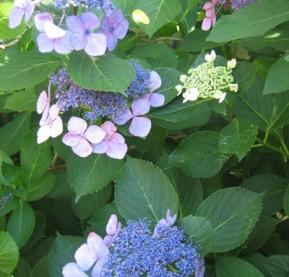 DJ-5-Hydrangeas,-blue,-Moorestown,-7-13