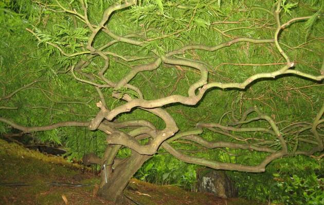 Maples-4-Butchart-Garden,-inside-a-Japanes-cutleaf-maple-in-Japanese-garden-(1)